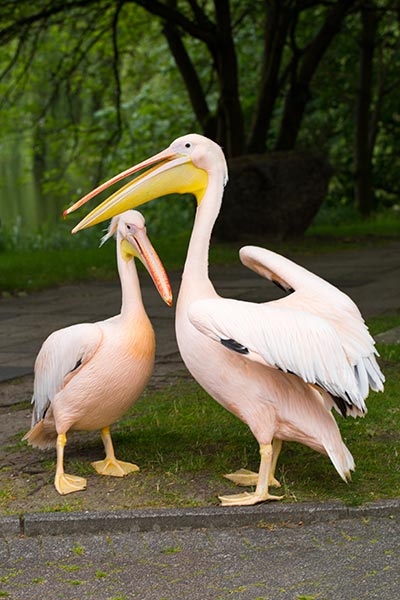 Two pelicans standing in front of a tree